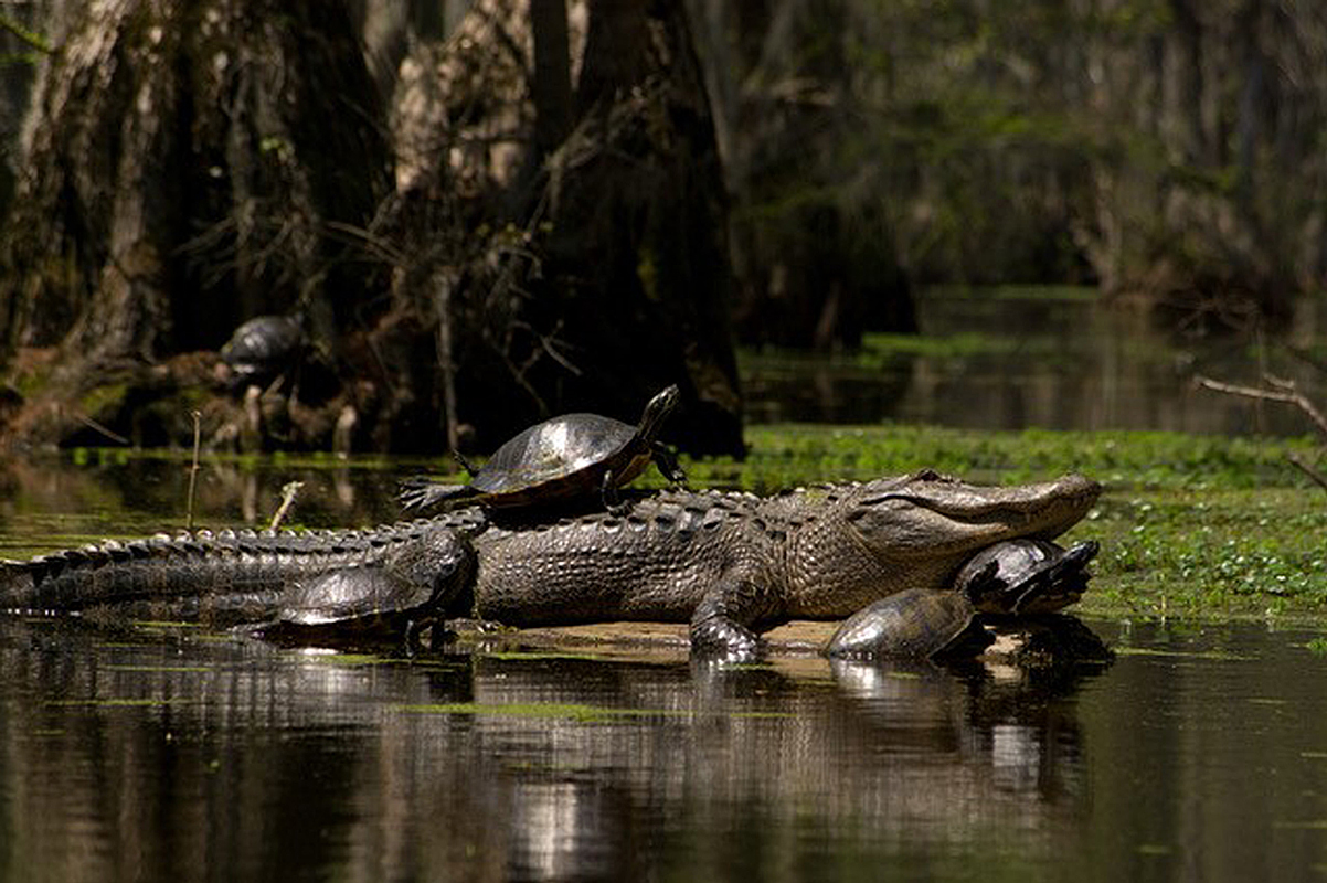 Merchant Millpond Alligator and Friends