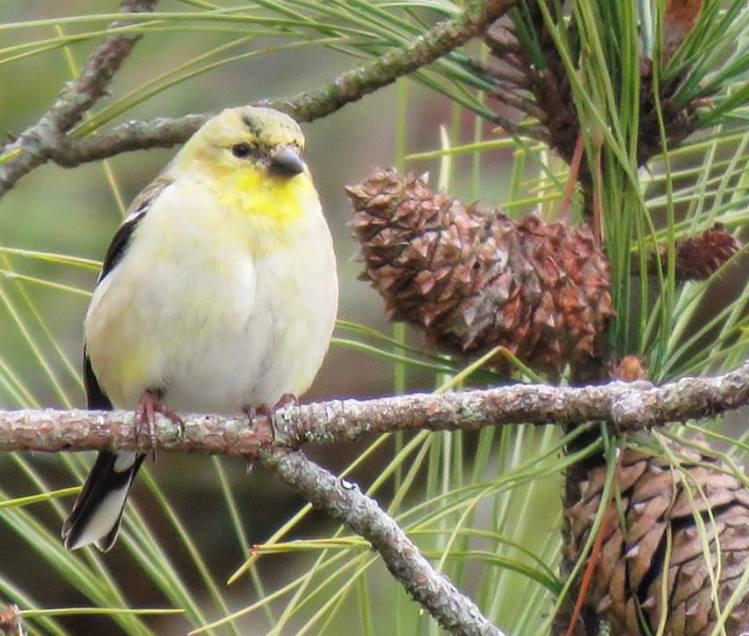 small yellow bird sitting on pine branch