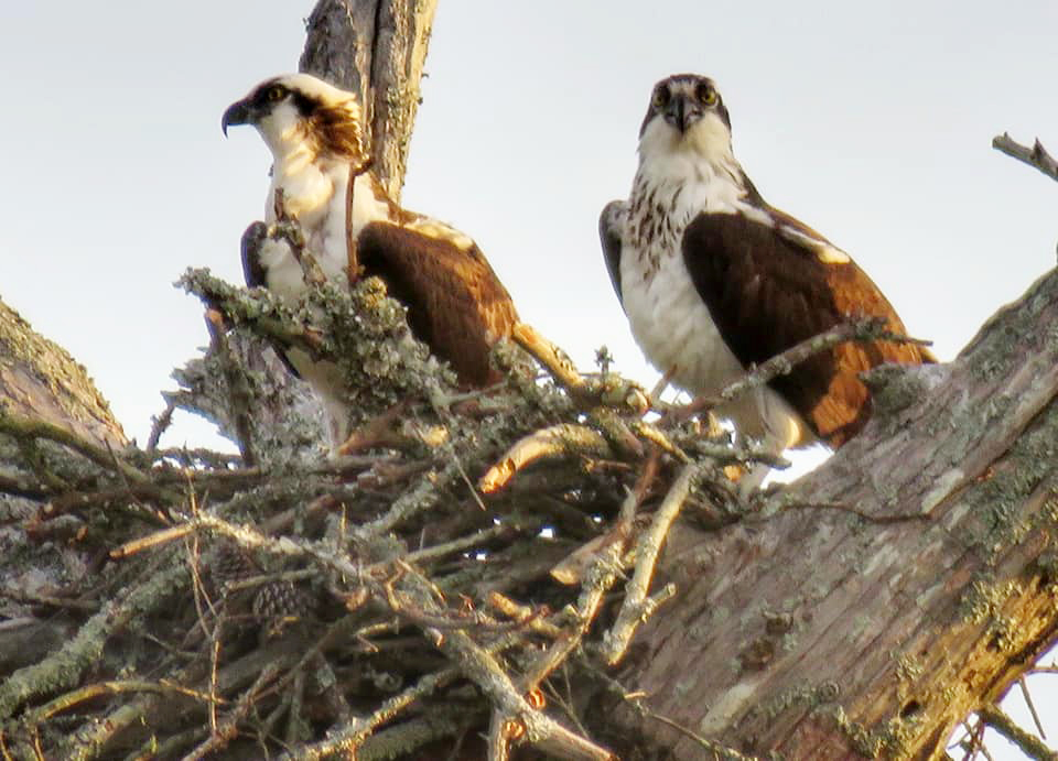 two osprey looking out over their nest in a treetop
