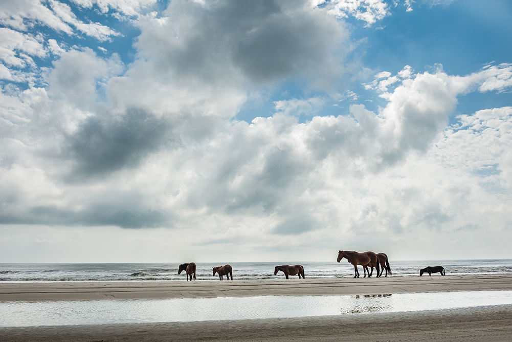 harem of wild spanish mustangs walking on the beach near the ocean