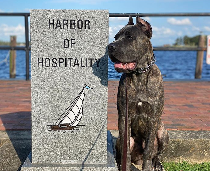 brindle cane corso sitting on the waterfront boardwalk next to harbor of hospitality statue in Elizabeth City, North Carolina